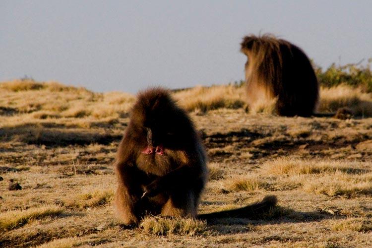 Etiopia - Dżelady w górach Semien
