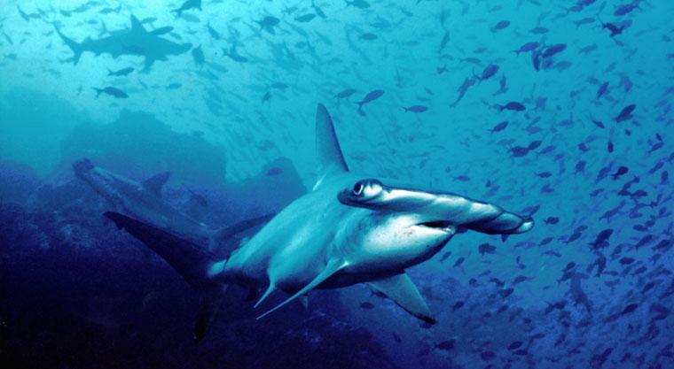 Widok rekinów przy Wyspie Kokosowej