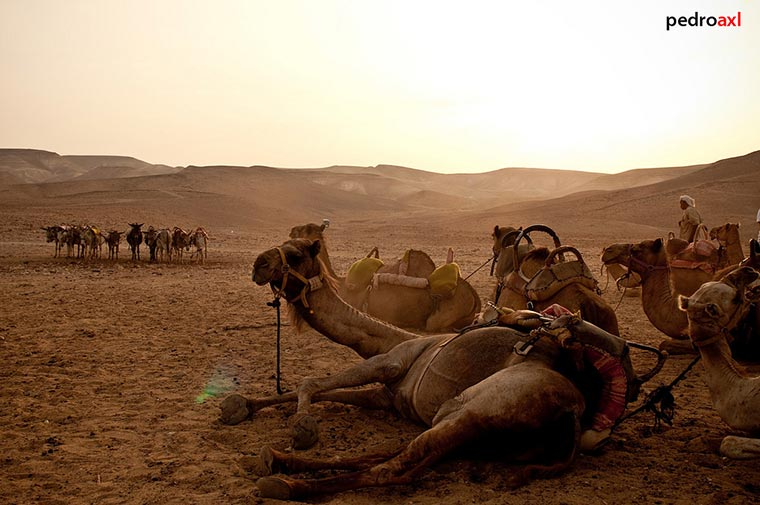 Israel wielbłądy