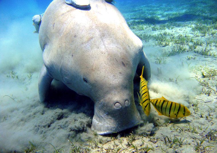 Dugong - Krowa Morska - Diugoń
