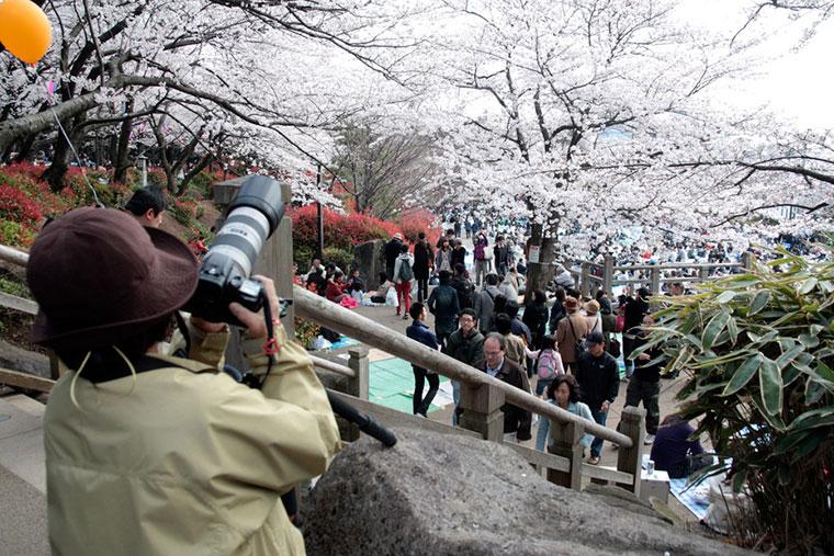 Sakura Hanami, Japonia