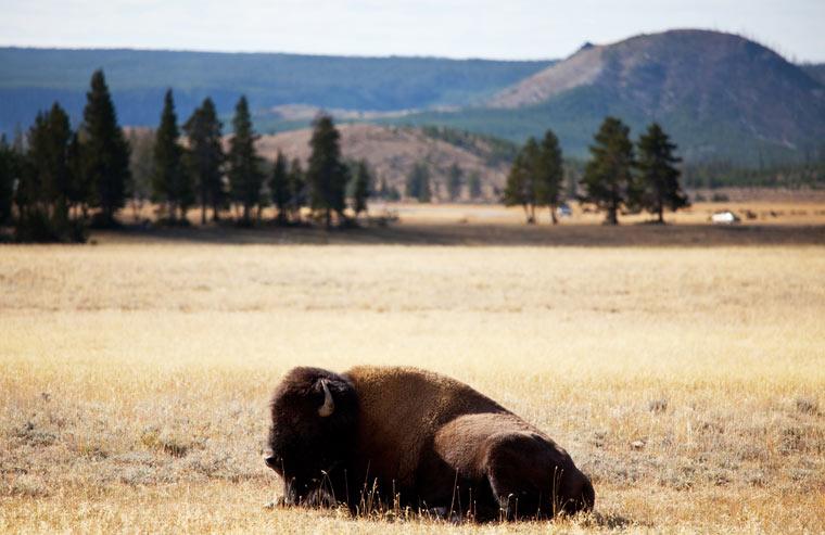Bizon w Parku Narodowym Yellowstone