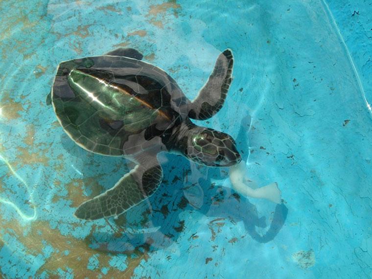 Dziecko żółw szylkretowy, program przywrócenia liczebności na Ko Tao