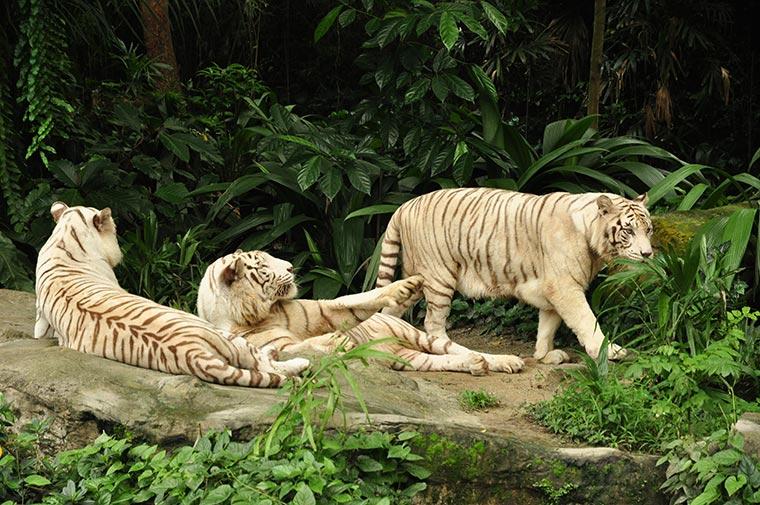 Białe tygrysy w Singapurskim ZOO